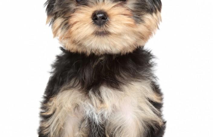 Le yorkshire terrier, un petit chien tout mimi