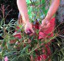 Comment tailler des lauriers roses ?